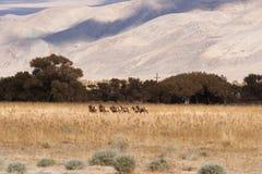 Männlicher Stier-Elch führt weibliches Tier-Mates Wild Livestock Stockbild
