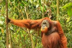 Männlicher Sumatran-Orang-Utan, der aus den Grund in Gunung Leuser steht Stockfotografie