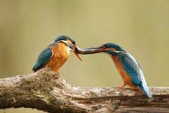 Männlicher u. weiblicher Eisvogel mit Fischen Stockfotografie