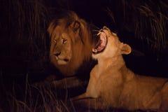 Männlicher und weiblicher Löwe nachts Stockbild