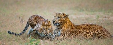 Männlicher und weiblicher Leopard auf dem Gras zusammen Der Zeitraum des Anschlusses Sri Lanka Lizenzfreie Stockfotografie