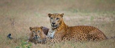 Männlicher und weiblicher Leopard auf dem Gras zusammen Der Zeitraum des Anschlusses Sri Lanka Lizenzfreies Stockbild