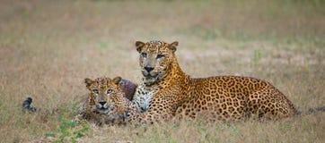 Männlicher und weiblicher Leopard auf dem Gras zusammen Der Zeitraum des Anschlusses Sri Lanka Stockfotos