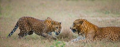 Männlicher und weiblicher Leopard auf dem Gras zusammen Der Zeitraum des Anschlusses Sri Lanka Stockfotografie