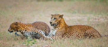 Männlicher und weiblicher Leopard auf dem Gras zusammen Der Zeitraum des Anschlusses Sri Lanka Lizenzfreie Stockbilder