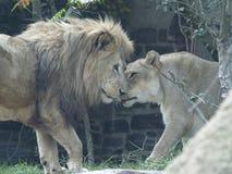 Männlicher und weiblicher Lion Rub Noses Stockfotografie