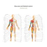 Männlicher und weiblicher Muskel und knöcherne Systemdiagramme mit Erklärungen Anatomieführer der Physiologie des Menschen Lizenzfreies Stockbild