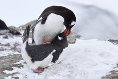Männlicher und weiblicher Pinguin Gentoo vor dem Anschluss des Frühlingstages Stockfotos