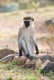 Männlicher vervet Affe auf Felsen im Sonnenschein Stockfotos