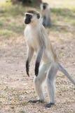 Männlicher vervet Affe, der auf Hinterbeinen steht Lizenzfreies Stockfoto