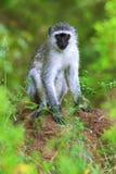 Männlicher vervet Affe, der in die Kamera sitzt und aufpasst Lizenzfreies Stockfoto