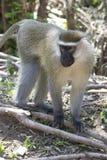 Männlicher Vervet-Affe, der unter den Stämmen einer Banane auf einer Inspektion steht Lizenzfreies Stockbild