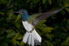 Männlicher Weiß-Necked Jacobin Kolibri Stockbilder