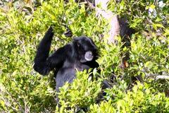 Männlicher Weißer-Cheeked Gibbon Stockfotografie