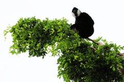 Gibbonaffe auf die Baumoberseite Stockfoto