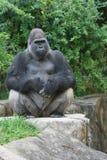 Männlicher westliches Tiefland-Gorilla Stockfoto