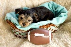 Männlicher Yorkshire-Terrier-Welpe mit Fußball Lizenzfreies Stockfoto