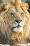 Männliches afrikanisches Löwe-Gesicht Stockfoto