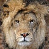 Männliches afrikanisches Löweportrait Stockbild