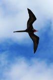 Männliches ausgezeichnetes frigatebird steigt obenliegend an stockfotografie