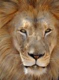 Männliches erwachsenes volles Feld des afrikanischen Löwes, Afrika Lizenzfreies Stockfoto