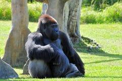 Männliches Gorilla-Stillstehen Lizenzfreie Stockfotografie