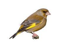 Männliches greenfinch lokalisiert auf weißem Hintergrund Stockbild