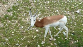Männliches indisches Antilope Antilope cervicapra lizenzfreies stockbild