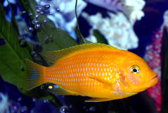 Männliches Kenyi, tropischer Fisch Stockfoto
