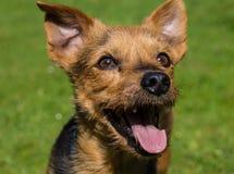 Männliches Kreuz Yorkshires Terrier Lizenzfreie Stockfotos