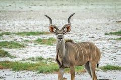 Männliches Kudu, das an der Kamera die Hauptrolle spielt Stockbilder