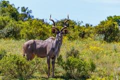 Männliches Kudu, das an Ihnen blendend steht Stockfotografie