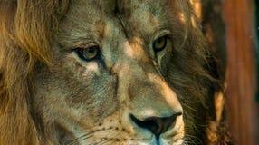 Männliches Löwe-Gesicht 2 Stockbilder