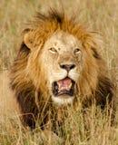 Männliches Löweporträt, Maasai Mara Stockfotografie