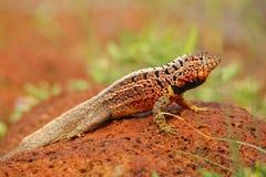 Männliches Lava Lizard auf Nord-Seymour-Insel, Galapagos Staatsangehörig-Gleichheit lizenzfreies stockfoto