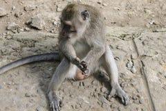 Männliches Makakenaffesitzen, Genitalien sichtbar Lizenzfreie Stockfotos