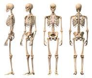 Männliches menschliches Skelett, vier Ansichten. lizenzfreies stockbild