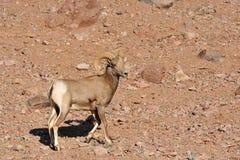 Männliches mouflon Stockfoto