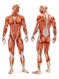 Männliches musculoskeletal System Stockbild
