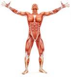 Männliches musculoskeletal System, das aufwärts schaut Stockfotos