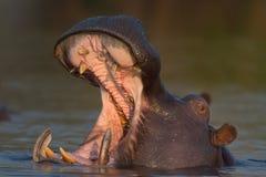 Männliches Nilpferd, das Elfenbeinzähne zeigt Stockbild