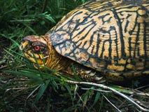 Männliches Ostdosenschildkröte-Seiten-Profil stockfotos