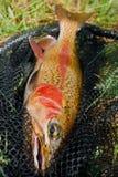 Männliches Regenbogenforellegoldenes gefärbt Stockfotografie