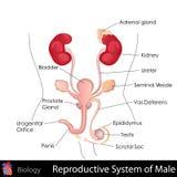Männliches Reproduktionssystem Lizenzfreie Stockfotografie
