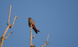 Männliches rotes füßiges Falke Falco vespertinus Stockfotografie