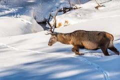 Männliches Rotwild, das in tiefen Schnee geht Lizenzfreies Stockbild