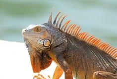 Männliches schönes Mehrfarben- Tier des grünen Leguans, buntes Reptil in Süd-Florida lizenzfreie stockfotografie