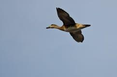 Männliches Schnatterenten-Fliegen in einem blauen Himmel Stockfotos