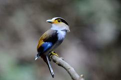 Männliches Silber-breasted Broadbill (Serilophus-lunatus) Lizenzfreie Stockbilder