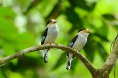 Männliches Silber-breasted Broadbill (Serilophus-lunatus) Stockfotografie